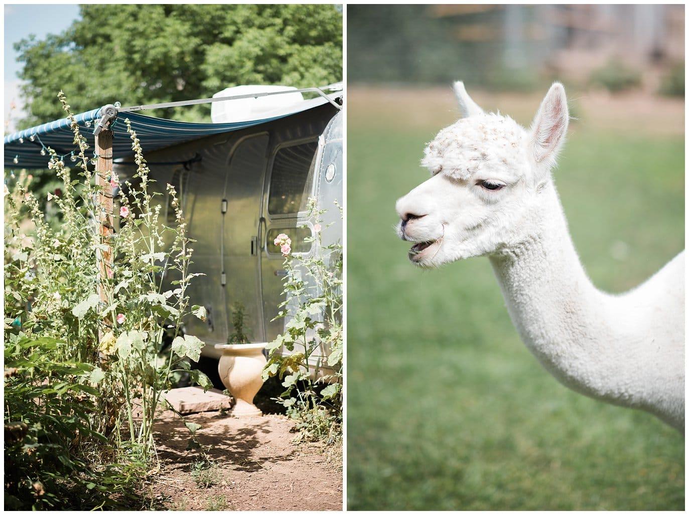 alpacas and air stream trailer at Lyons wedding photo