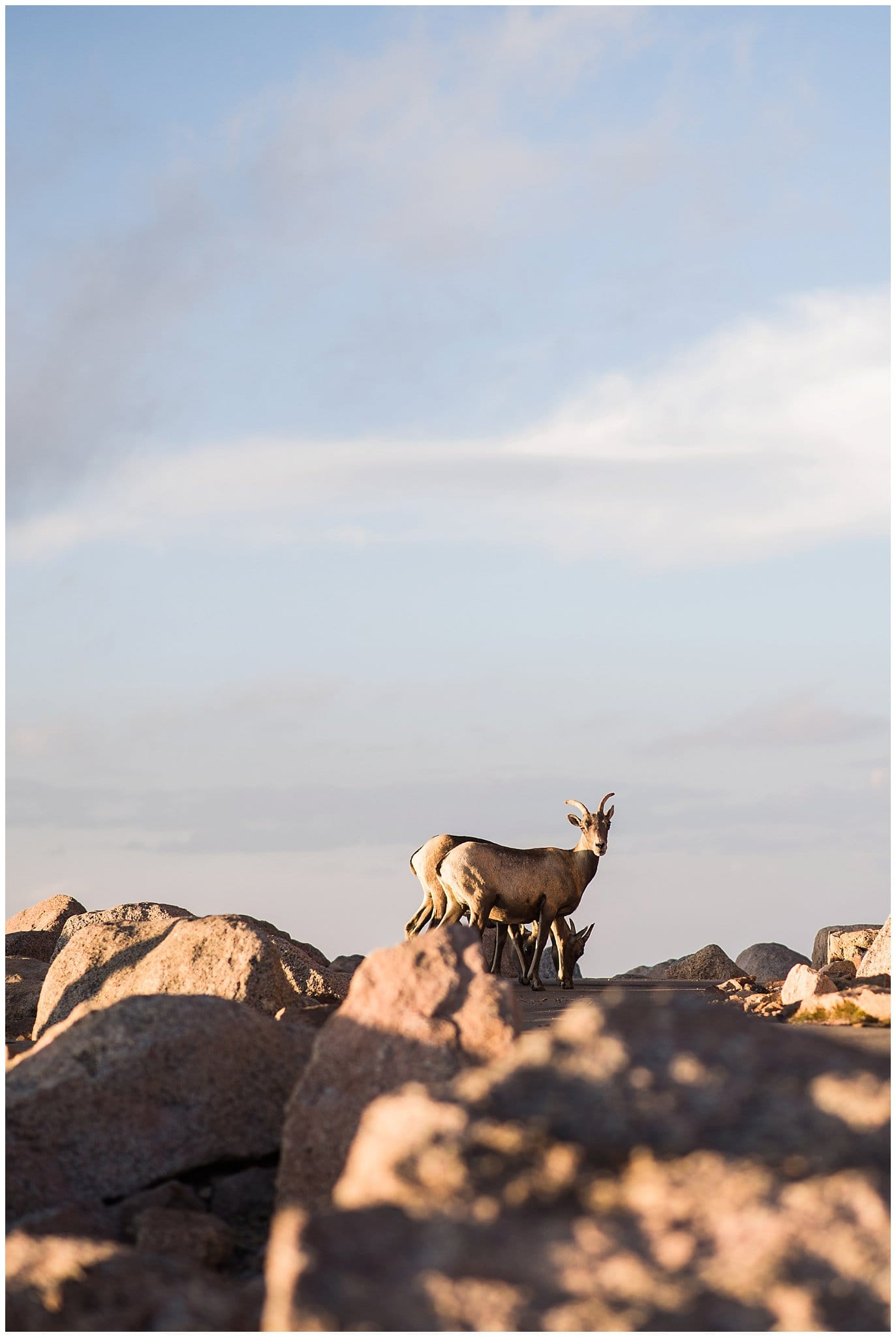 mountain sheep colorado rocky mountian photo