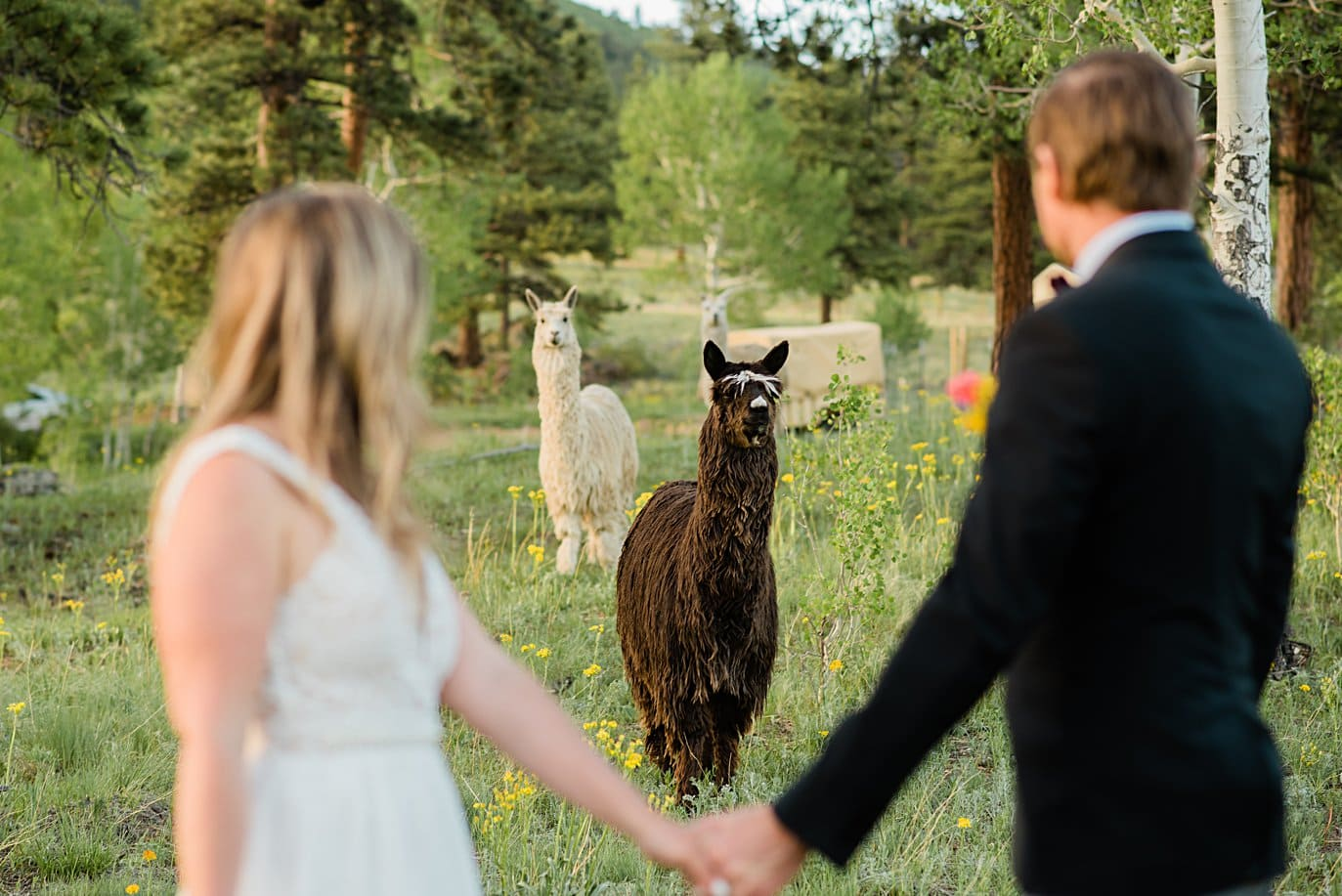 bride and groom and alpacas on wedding day at Golden elopement by Golden elopement photographer Jennie Crate