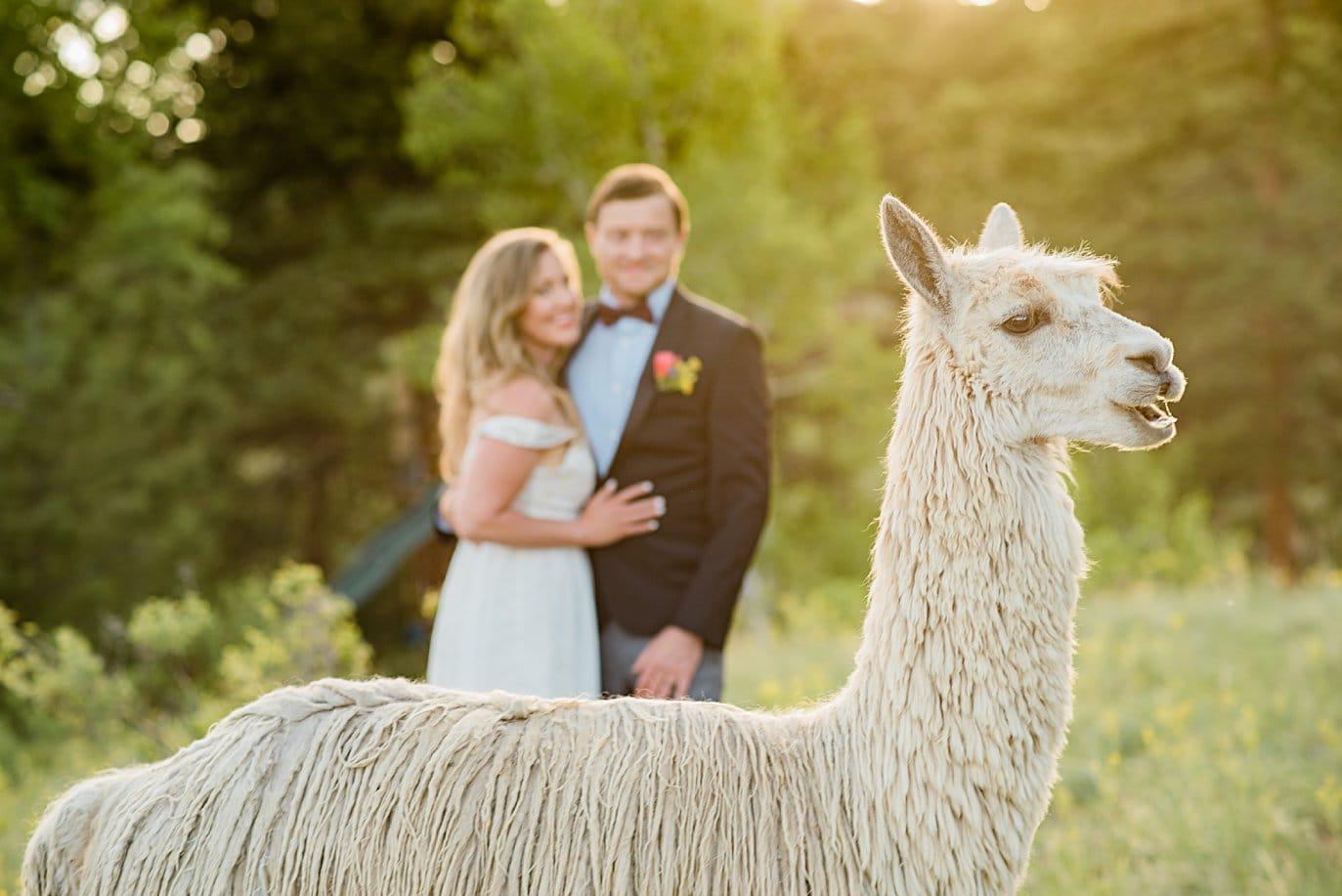 alpaca wedding day photobomb at Golden elopement by Golden elopement photographer Jennie Crate