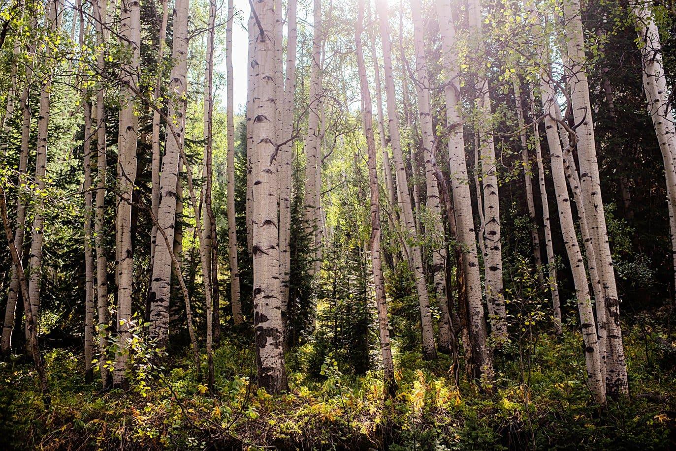 aspen trees on gothic road