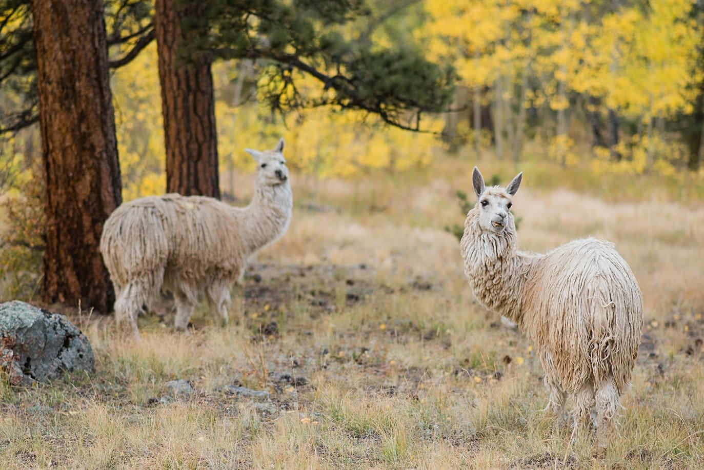 llamas watch two grooms during engagement shoot in Golden Gate Canyon by Colorado gay wedding photographer Jennie Crate